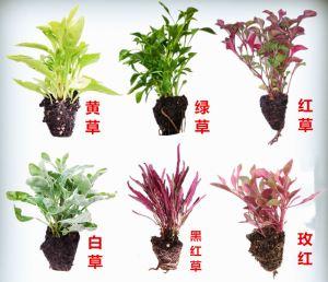 五色草的种类和功能